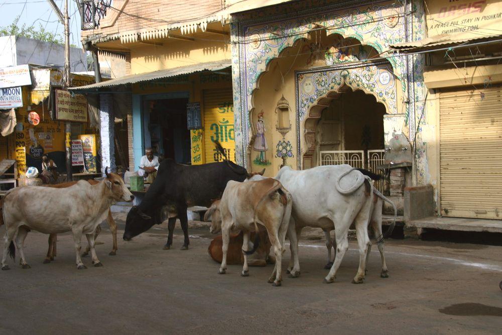 Des vaches en plein centre ville