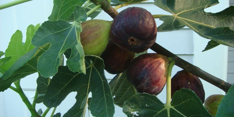 Anjeer, common fig