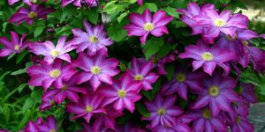 Clematis, traveller's joy, virgin's bower