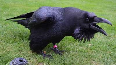 Corbeau à la tour